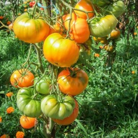 Tomate Dr Wyche's Yellow (tomate ancienne)