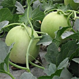 Melon vert Honey Dew