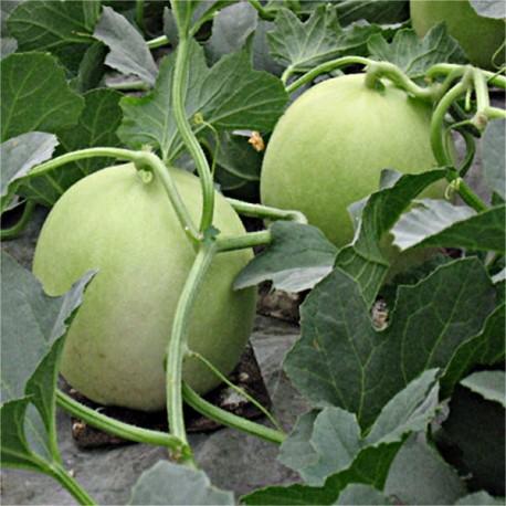 Graines Melon vert Honey Dew