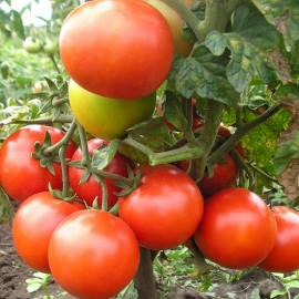 Tomate Saint Pierre (tomate ancienne)