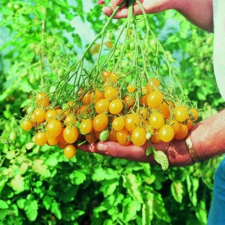 Tomate Ildi (tomate cerise)