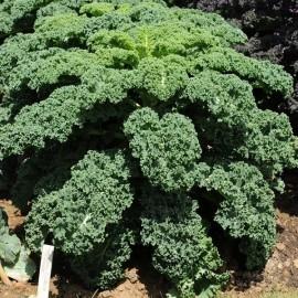 Chou Kale vert frisé Dwarf Green Curled