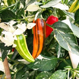 Piment Fish Pepper (Piment fort)