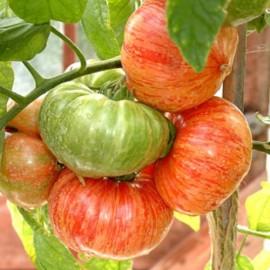 graines tomate ancienne bigar e 39 tigrella bicolore 39. Black Bedroom Furniture Sets. Home Design Ideas