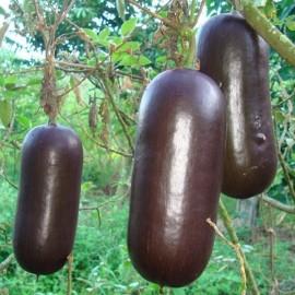 Sicana odorifera Chocolate (Cassabanana chocolat)
