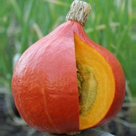 Courge Red Kuri (Potimarron)