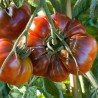 Tomate Paul Robeson (tomate ancienne)