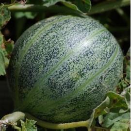 Melon Ananas d'Amérique à Chair Verte