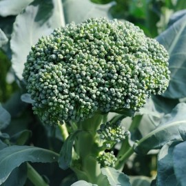 Brocoli De Cicco (Brocoli asperge)
