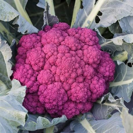 Chou-fleur Di Sicilia Violetto