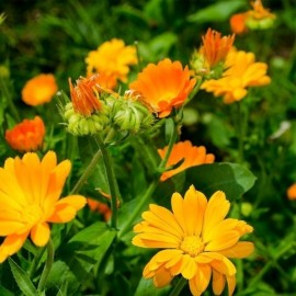 Calendula officinalis Pacific Beauty Mix (Souci)