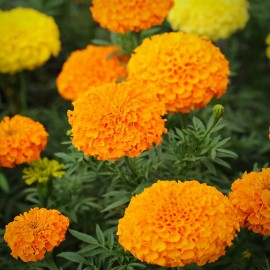 Tagetes erecta Crackerjack (Rose d'Inde)