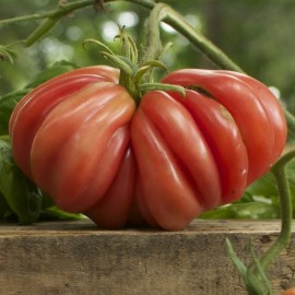 Tomate Zapotec Pleated (tomate ancienne)