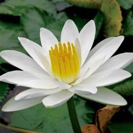 Nymphaea Ampla (Lotus blanc)
