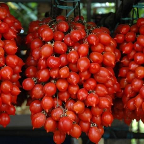 Tomate Principe Borghese (tomate cerise)