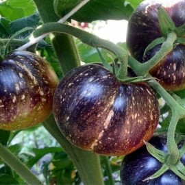 Tomate Dark Galaxy