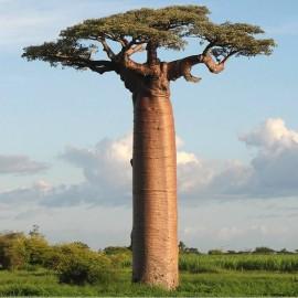 Adansonia digitata (Baobab africain)