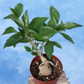 Adansonia digitata (Boabab africain)