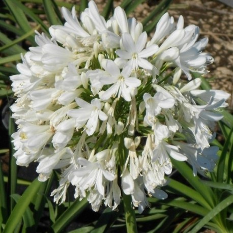Agapanthus White Giant (Agapanthe blanche)