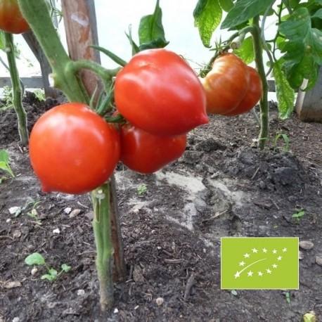 Tomate Téton de Venus (tomate ancienne)