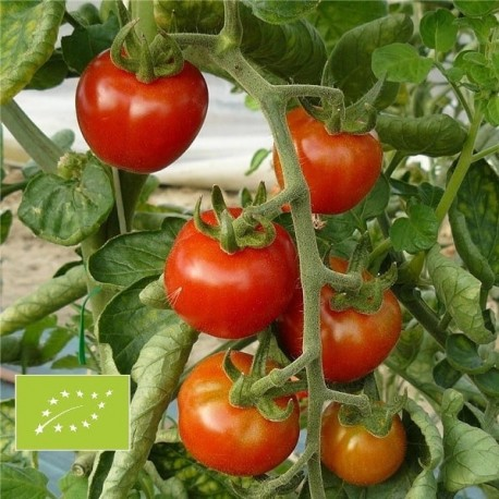 Tomate Miel du Mexique BIO (tomate cerise)