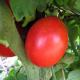 Kit futé - Des Tomates pour Ma Région n°1 - Climat Frais & Saison Courte - Tomate Siberian