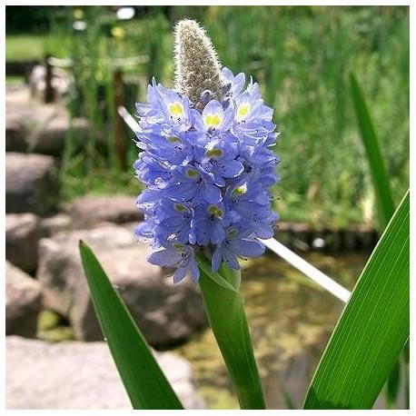Pontederia cordata (Pontédérie)