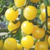 Tomate Mirabelle blanche (tomate cerise)