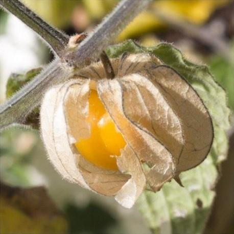 Cerise de terre (Physalis pruinosa)
