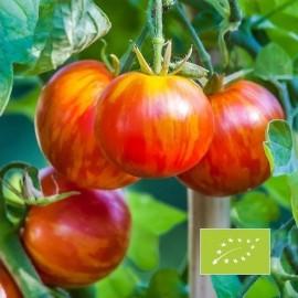 Graines Tomate ancienne bigarée 'Tigrella bicolore'