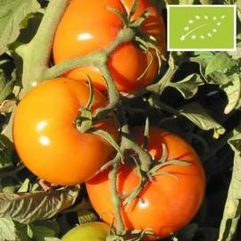 Tomate Caro Rich BIO (tomate ancienne)