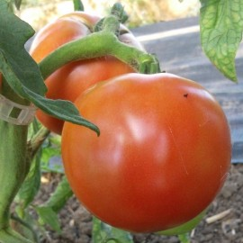 Tomate Eva Purple Ball (tomate ancienne)