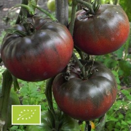 Tomate Black From Tula BIO