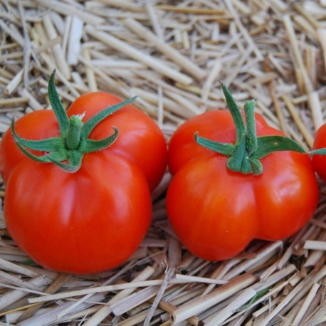 Tomate Red Stuffer (tomate poivron)
