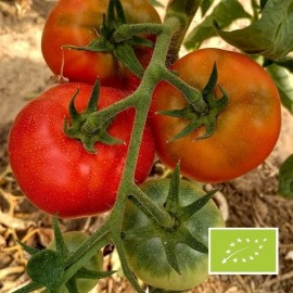 Tomate Merveille des marchés BIO (tomate ancienne)