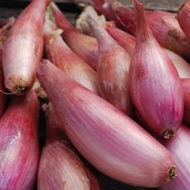 Oignon Cuissse de Poulet du Poitou (Zebrune)