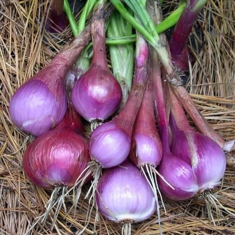 Oignon Purplette