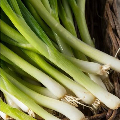 Oignon Poireau Ishikura long white