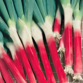 Oignon Poireau Red Toga