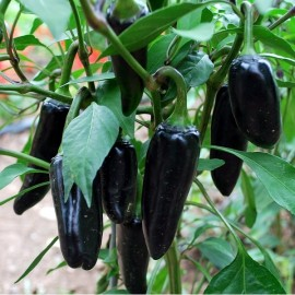 Piment Black Hungarian (Piment fort)