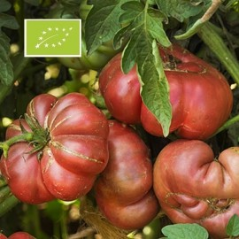 Tomate Purple Calabash BIO (tomate ancienne)