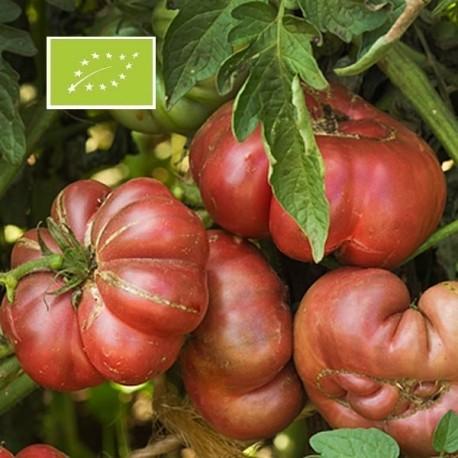 Graines Tomate ancienne violette 'Purple Calabash'