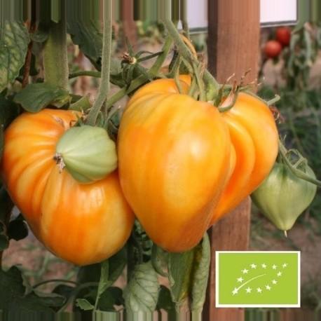 Tomate Coeur de boeuf orange (tomate ancienne)