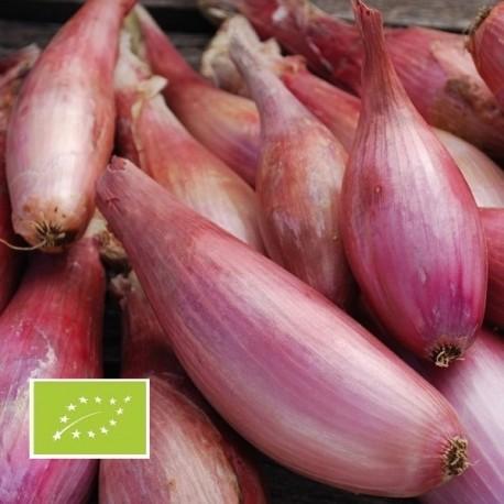 Oignon Cuissse de Poulet du Poitou BIO (Zebrune)