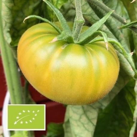 Tomate Moldovan Green BIO (tomate verte)