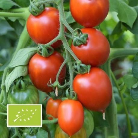 Tomate Brin de Muguet BIO (tomate cocktail)