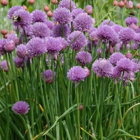 Graines Ciboulette commune (à fleurs blanches)
