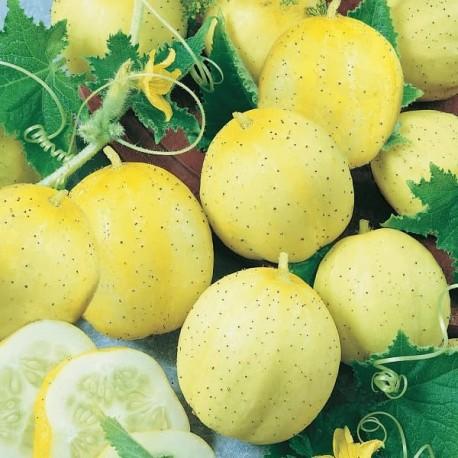 Graine Concombre citron