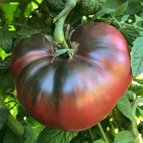 Tomate violette 'Cherokee Purple'
