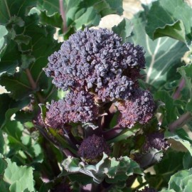 Brocoli violet 'Early purple sprouting'
